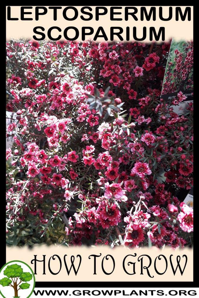 How to grow Leptospermum scoparium