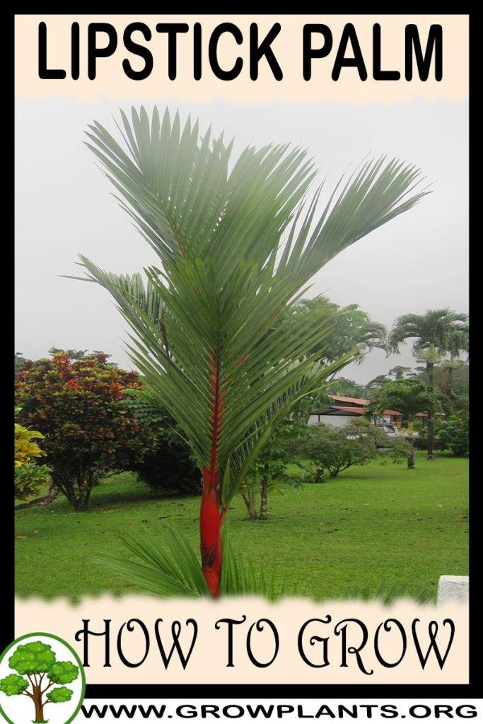 How to grow Lipstick Palm