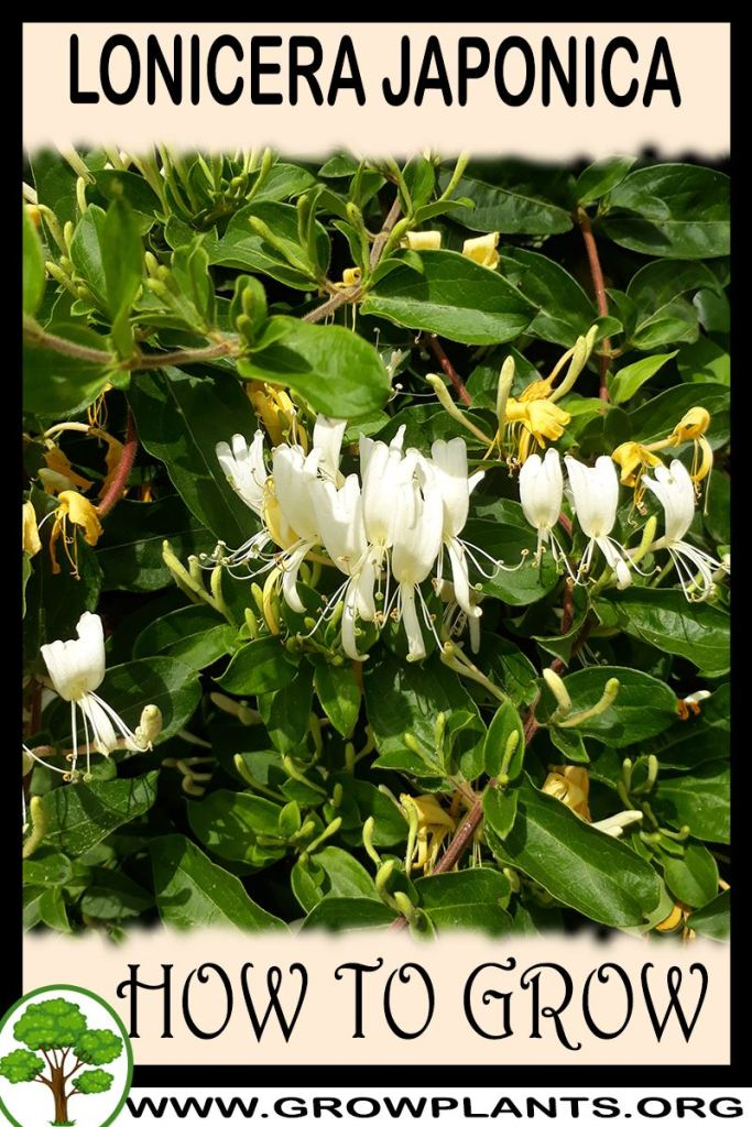 How to grow Lonicera japonica