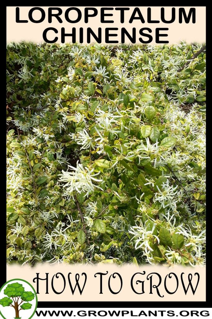 How to grow Loropetalum chinense