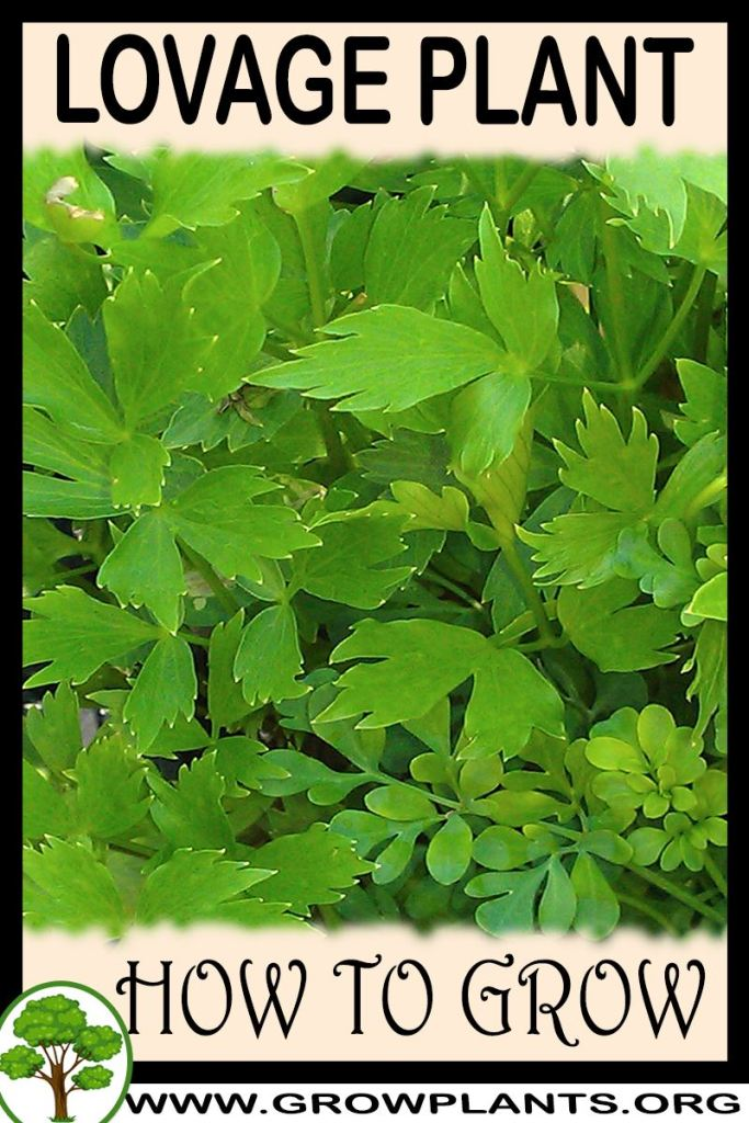 How to grow Lovage