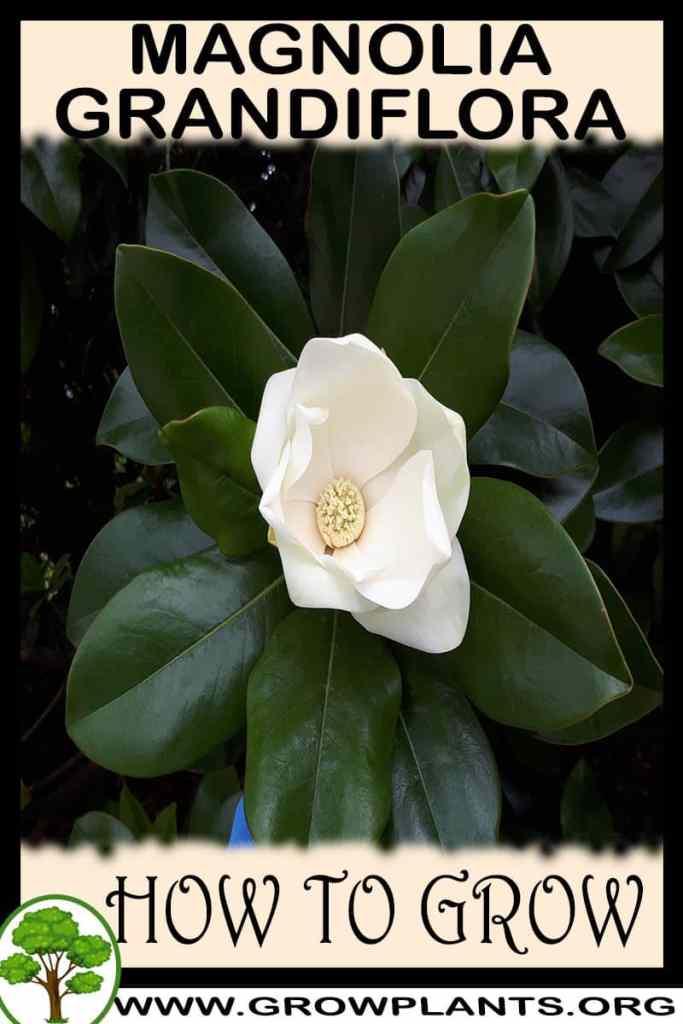 How to grow Magnolia grandiflora