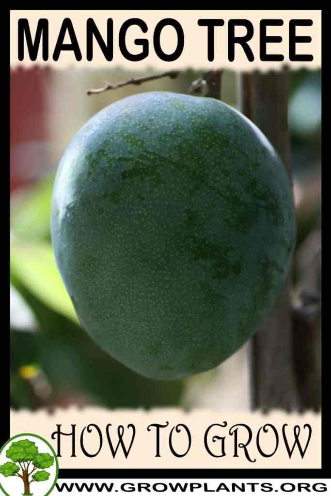 How to grow Mango tree