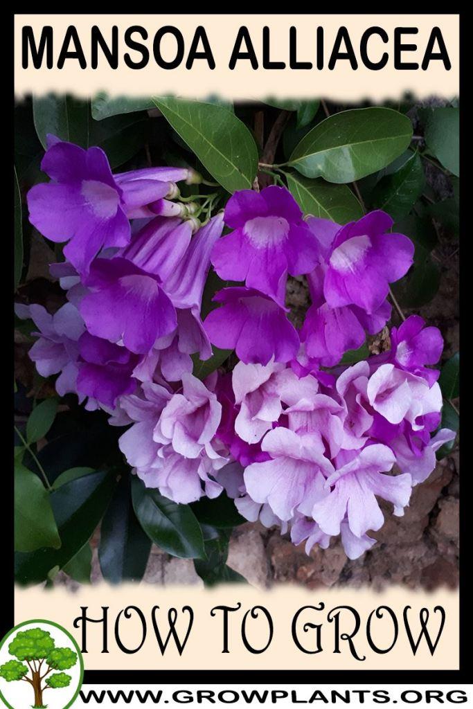 How to grow Mansoa alliacea
