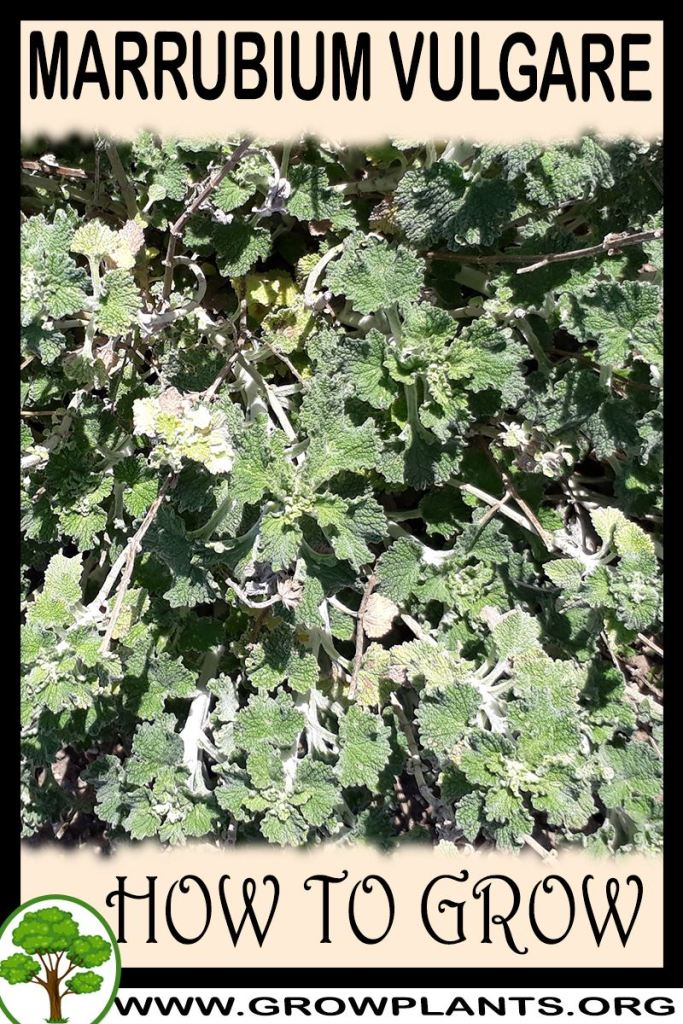 How to grow Marrubium vulgare