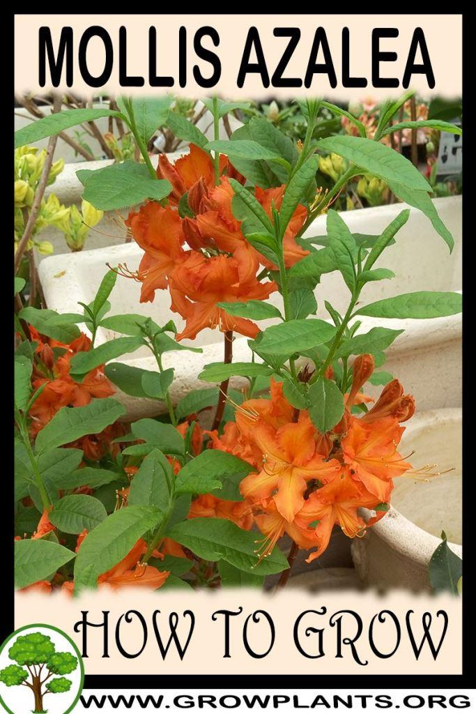 How to grow Mollis Azalea