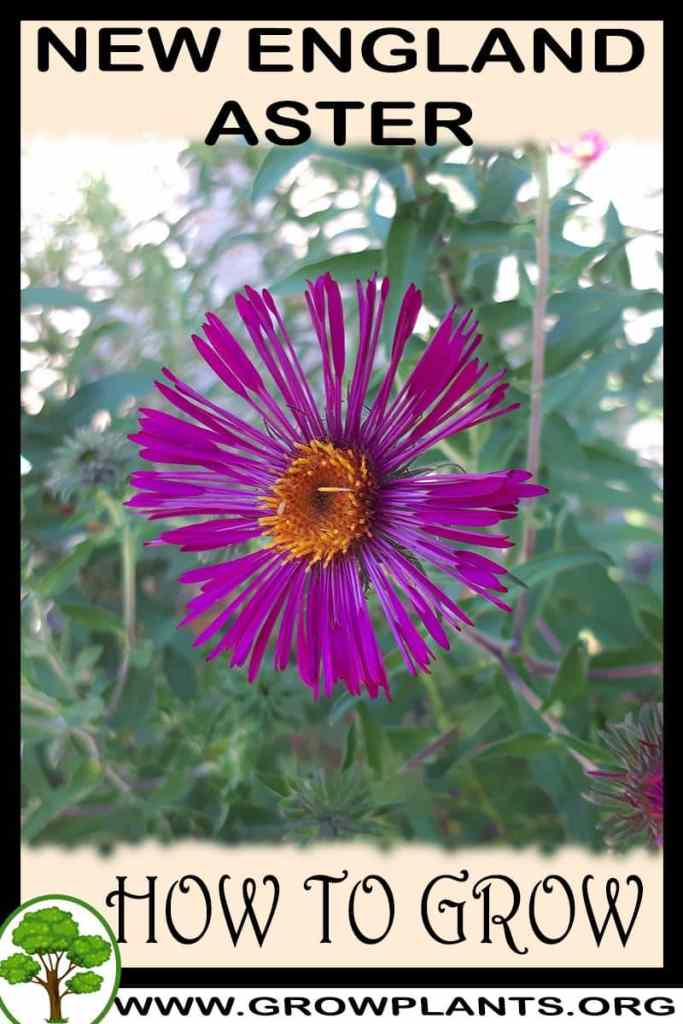 How to grow New England aster