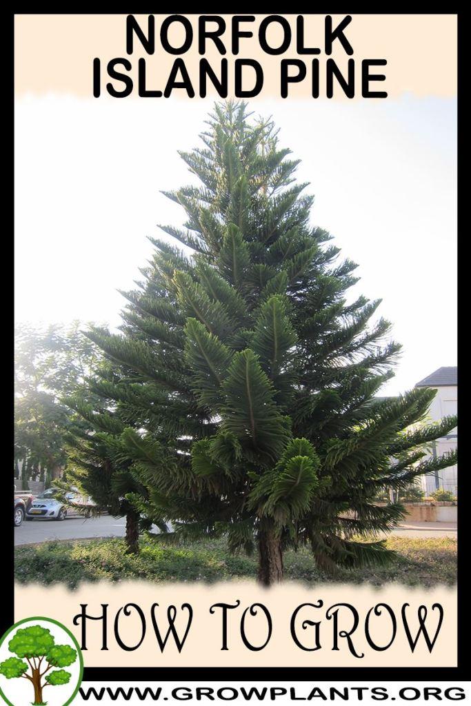 How to grow Norfolk island pine