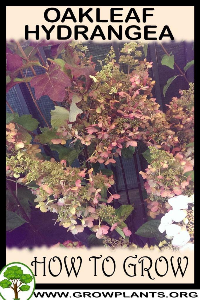 How to grow Oakleaf Hydrangea
