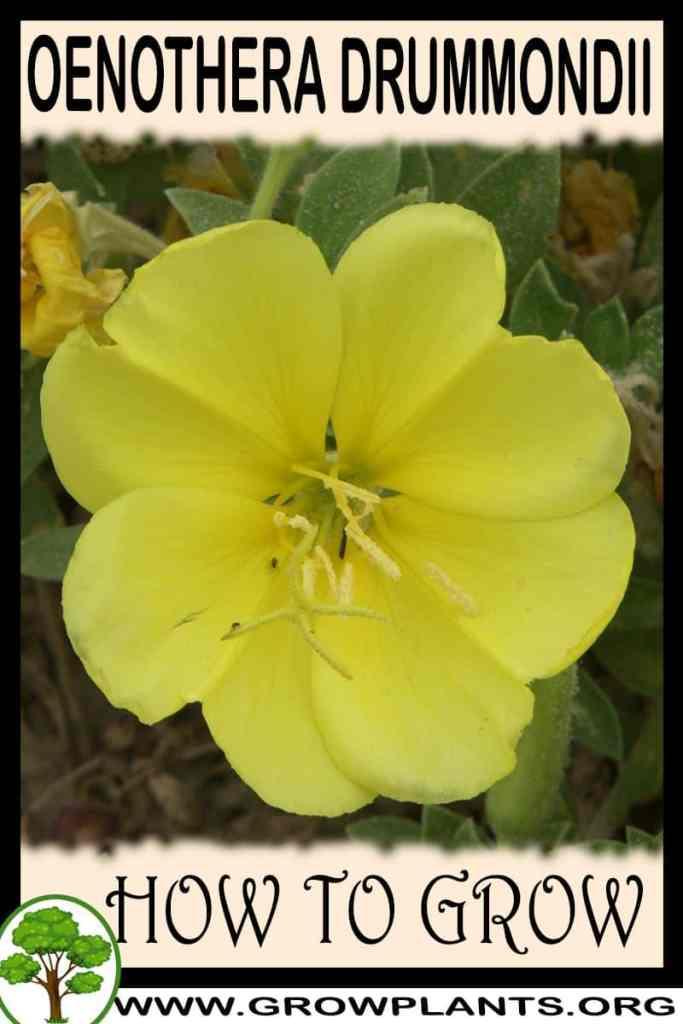 How to grow Oenothera drummondii