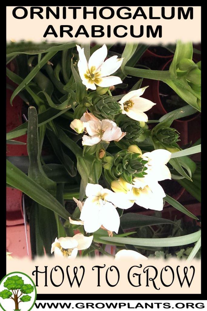 How to grow Ornithogalum arabicum