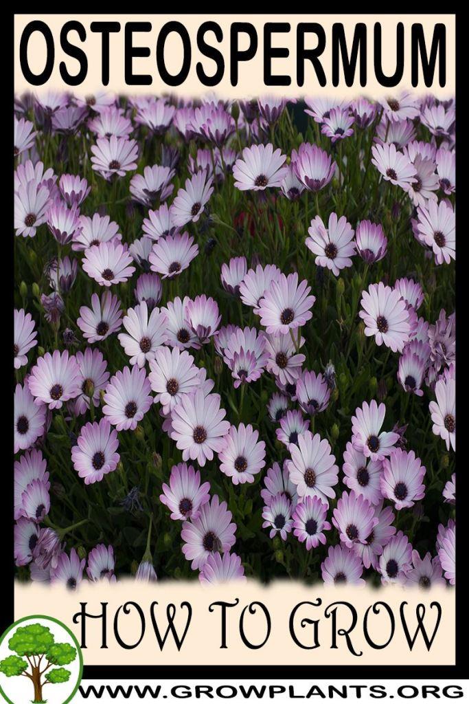 How to grow Osteospermum
