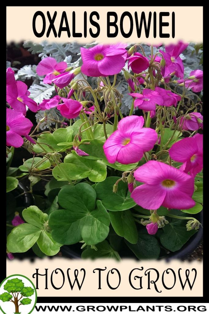 How to grow Oxalis bowiei