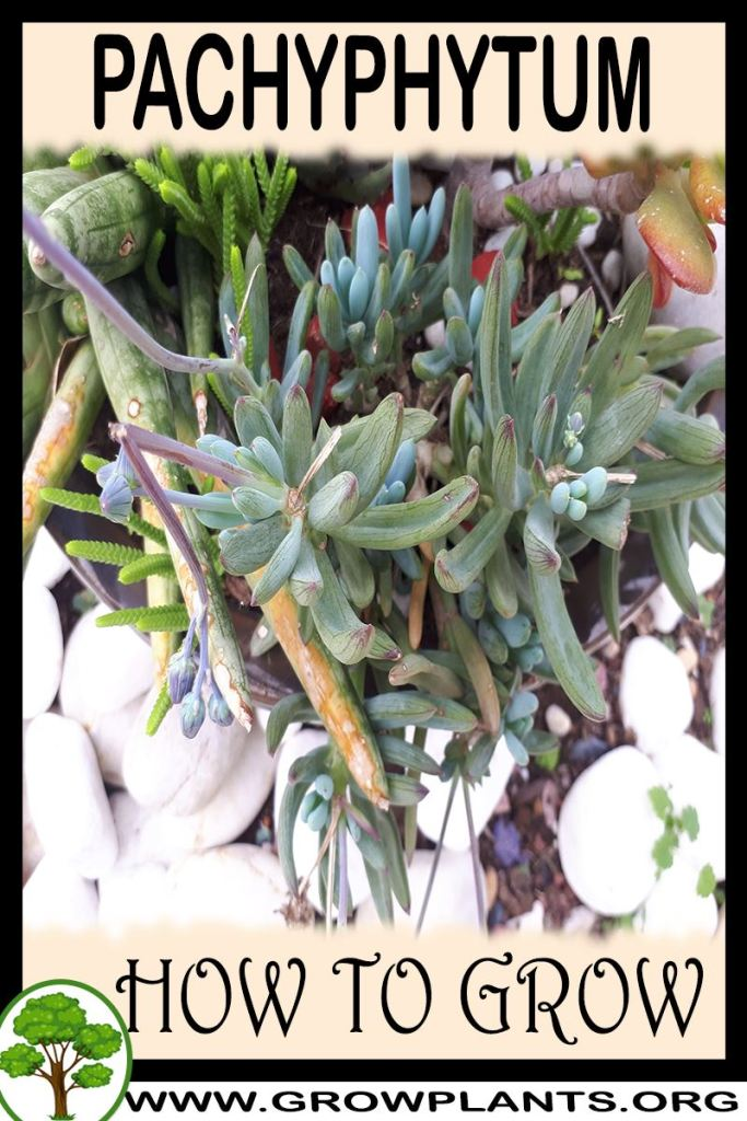 How to grow Pachyphytum