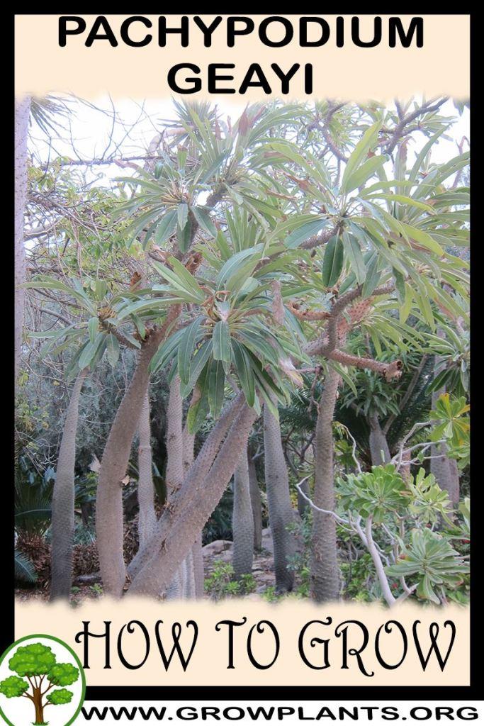 How to grow Pachypodium geayi