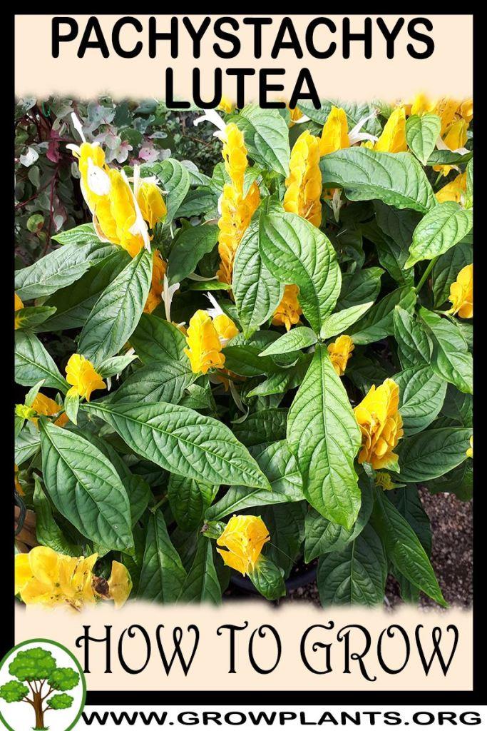 How to grow Pachystachys lutea