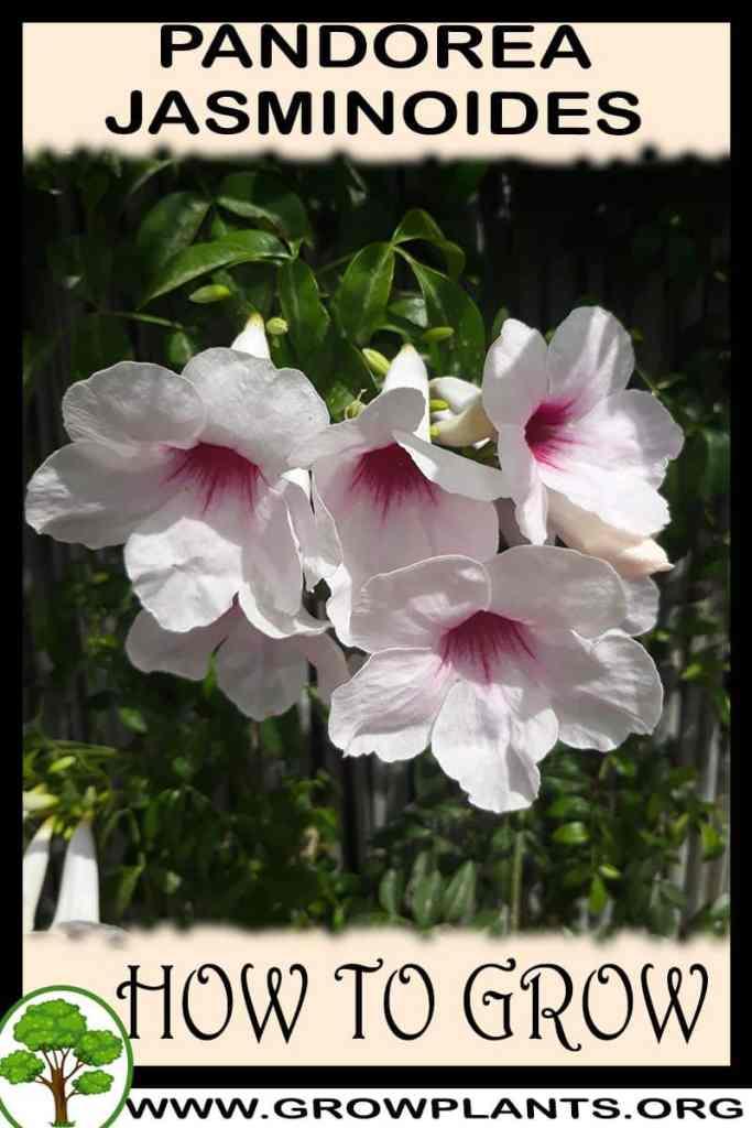 How to grow Pandorea jasminoides
