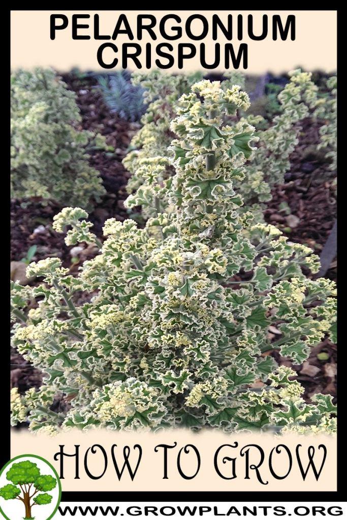 How to grow Pelargonium crispum