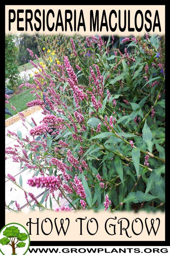 How to grow Persicaria maculosa