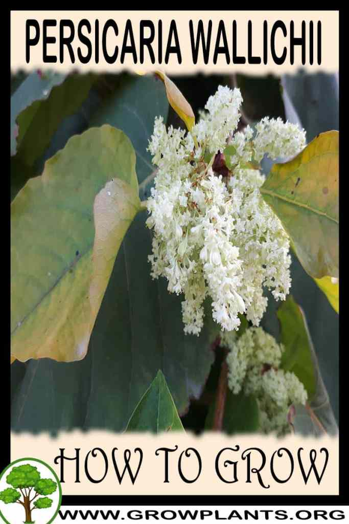 How to grow Persicaria wallichii