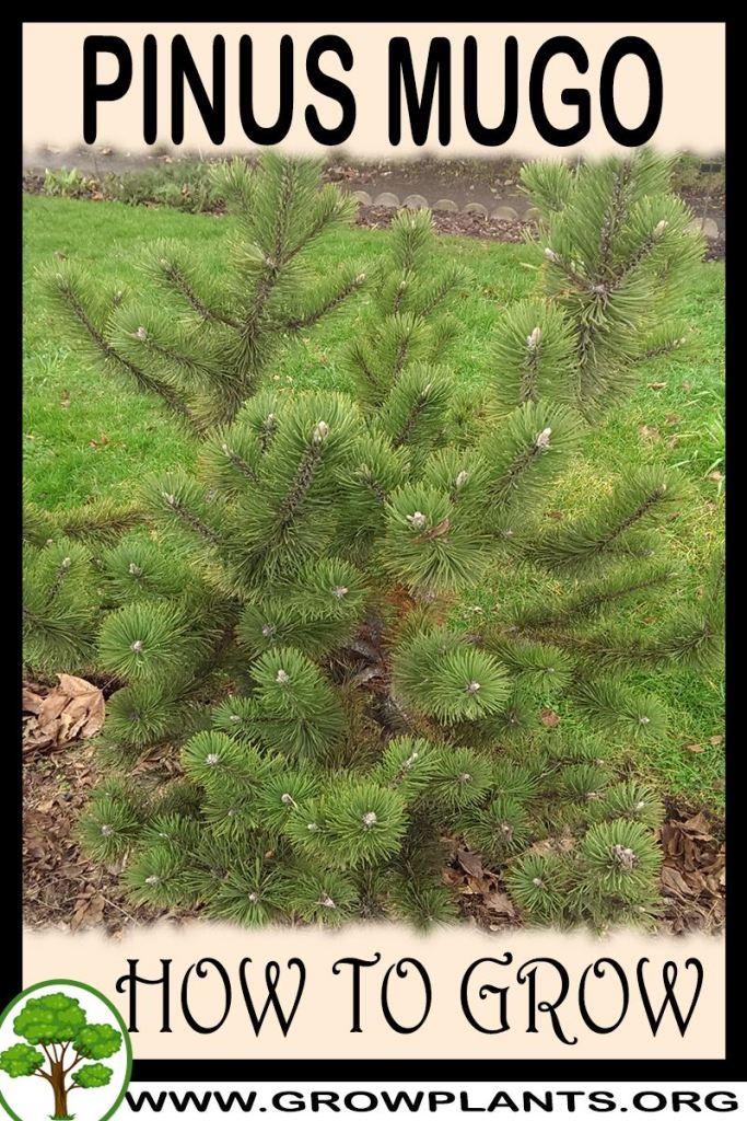 How to grow Pinus mugo