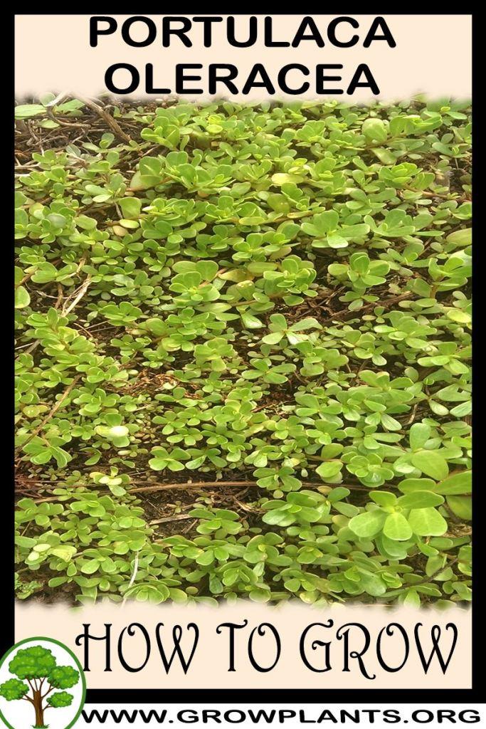 How to grow Portulaca oleracea