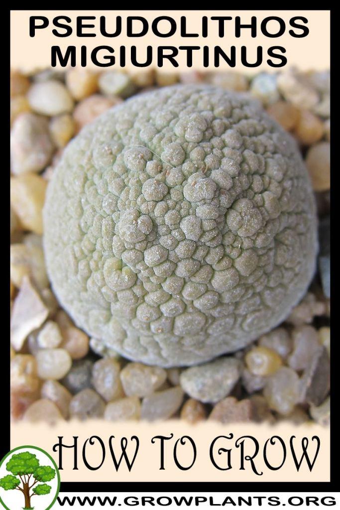How to grow Pseudolithos migiurtinus