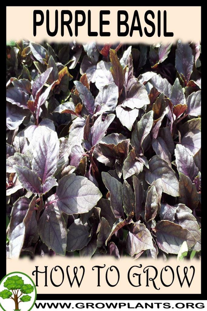 How to grow Purple basil