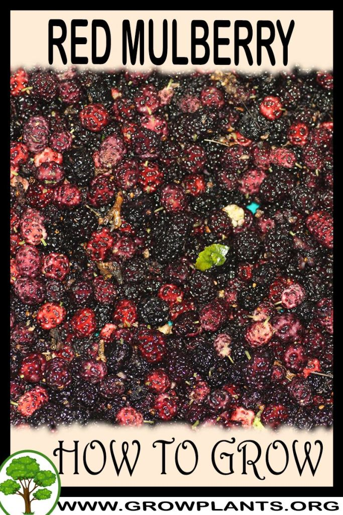 How to grow Red Mulberry