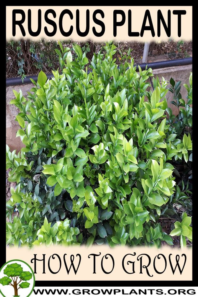 How to grow Ruscus plant