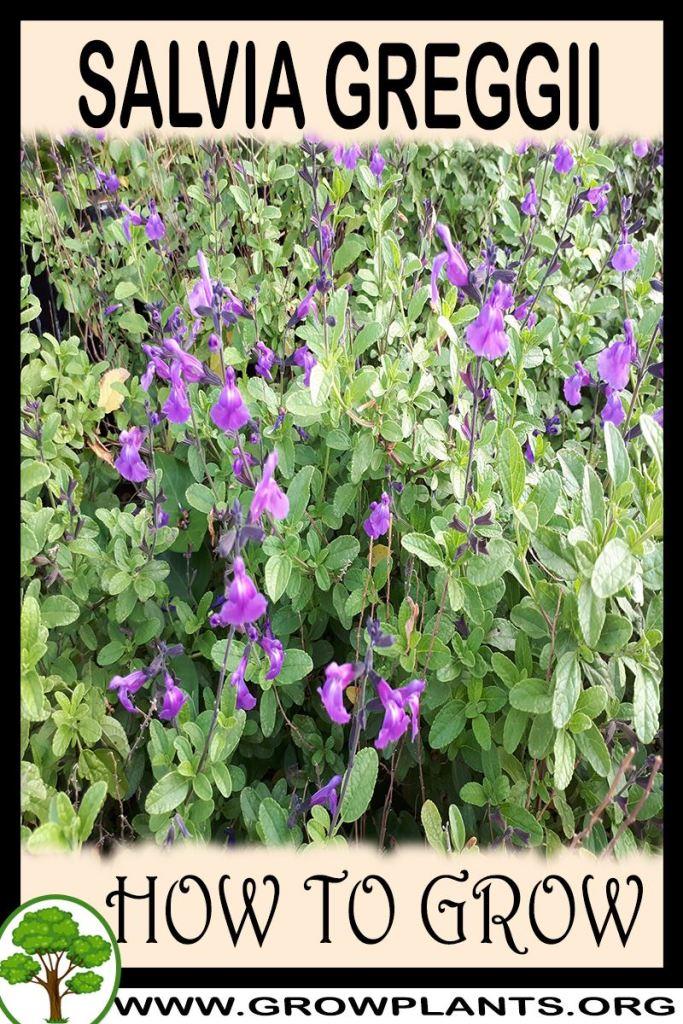 How to grow Salvia greggii