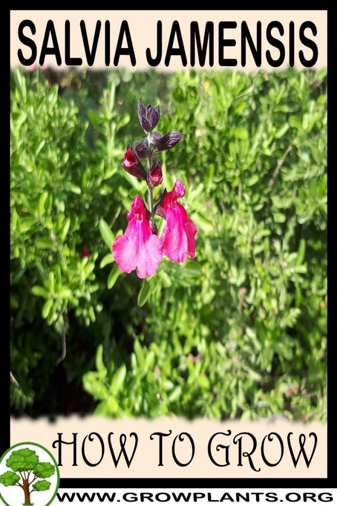 How to grow Salvia jamensis