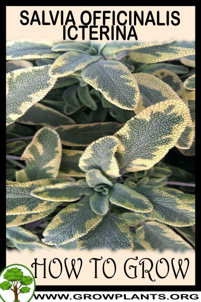 How to grow Salvia officinalis icterina