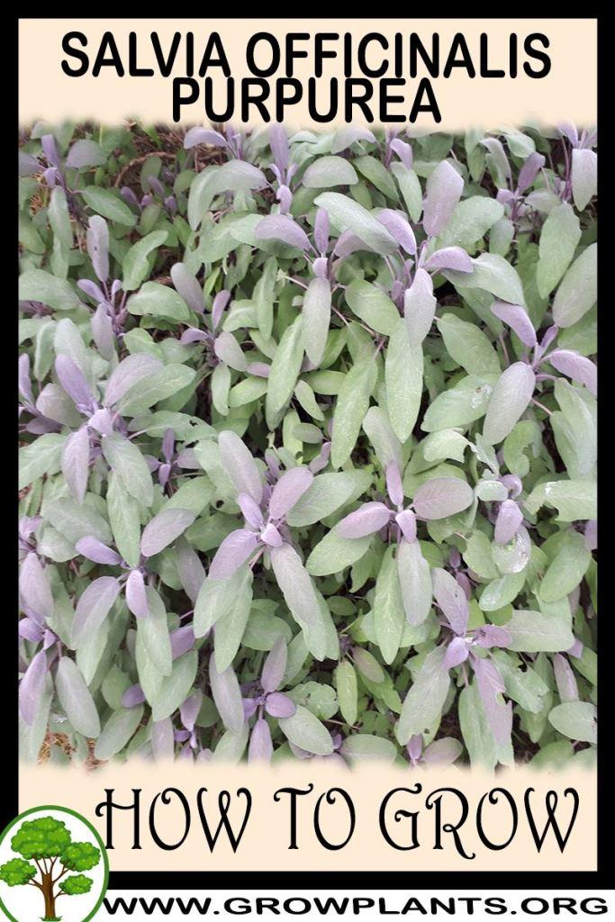 How to grow Salvia officinalis purpurea