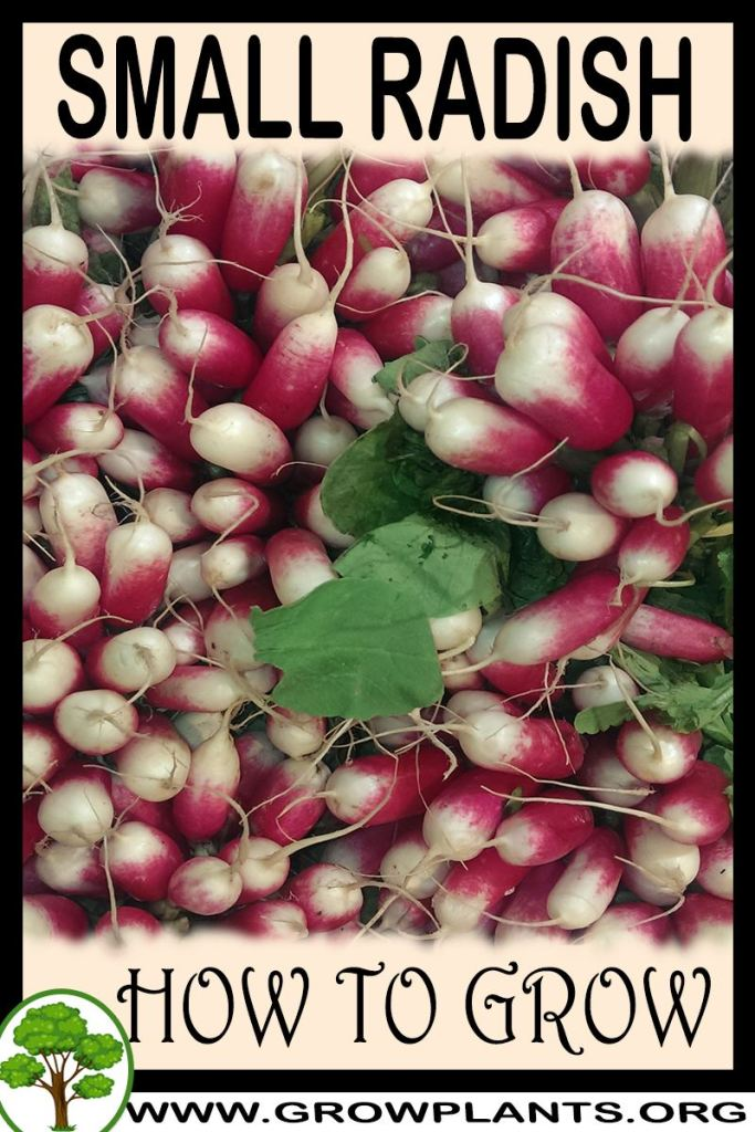 How to grow Small radish