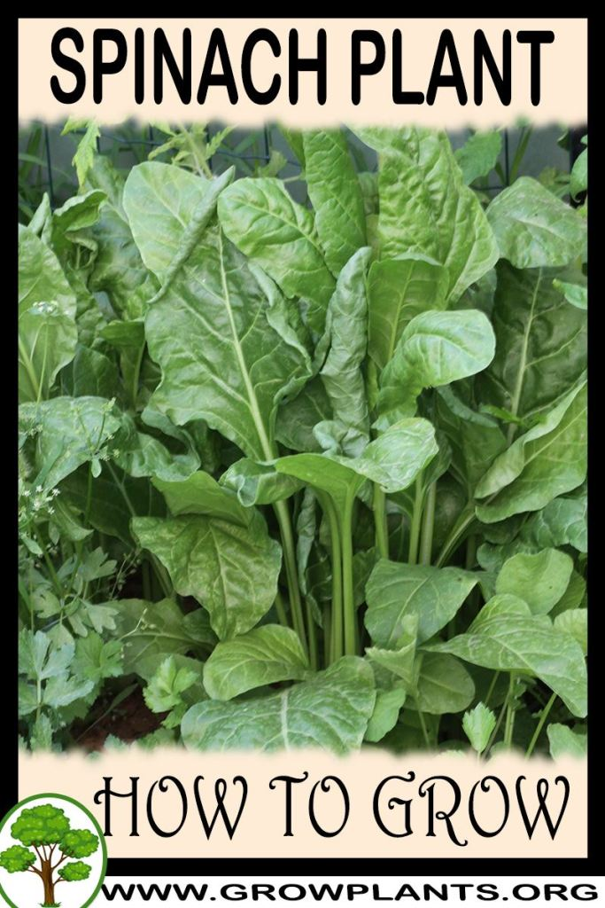 How to grow Spinach plant