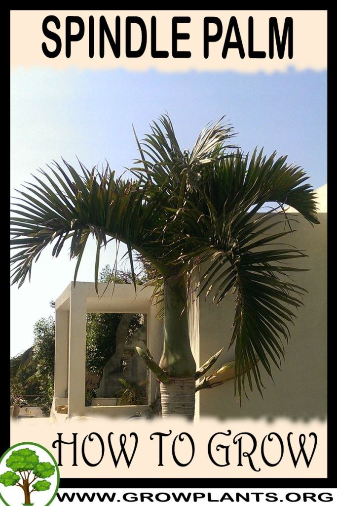 How to grow Spindle Palm