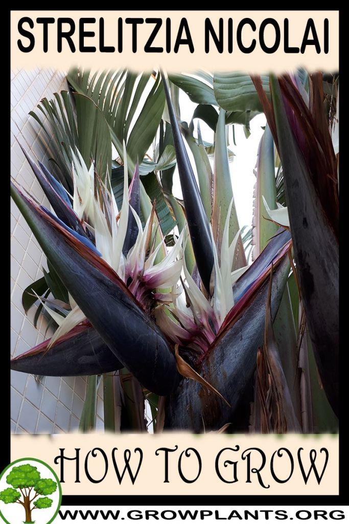 How to grow Strelitzia nicolai