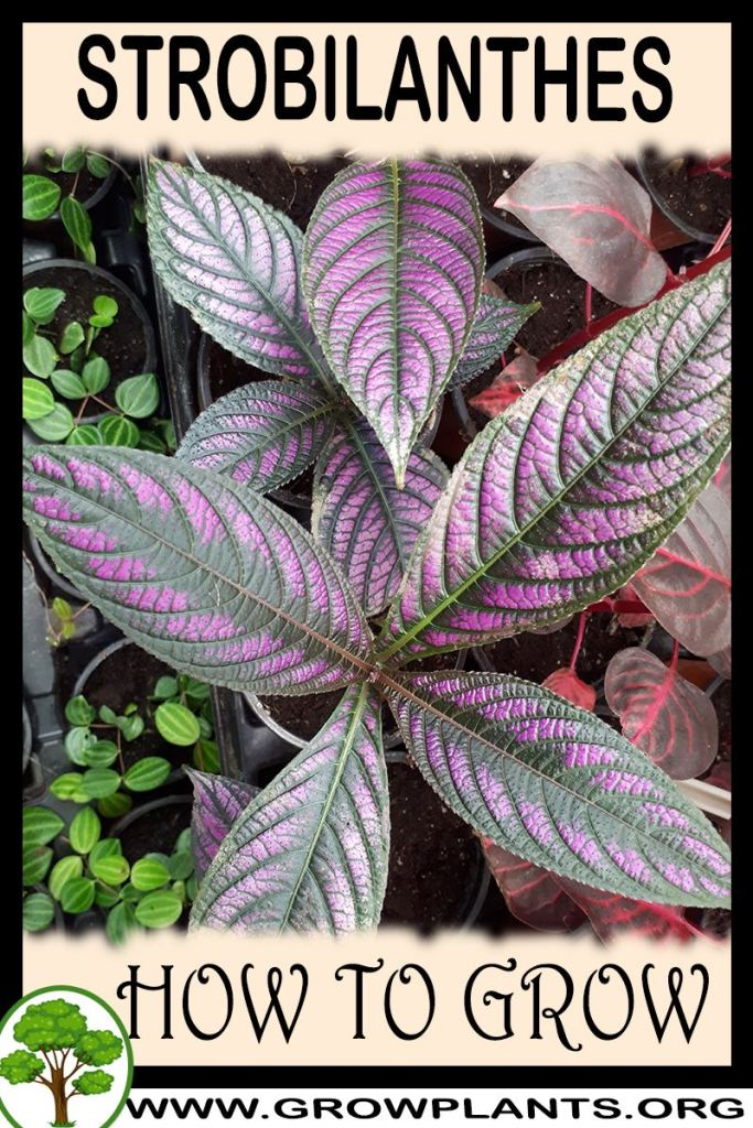 How to grow Strobilanthes