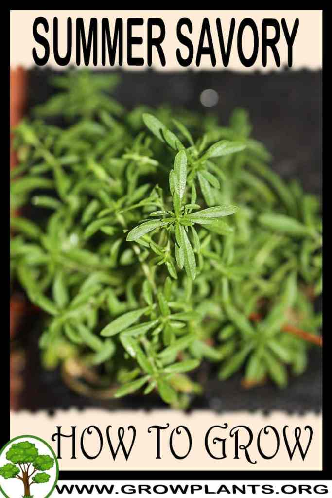 How to grow Summer savory