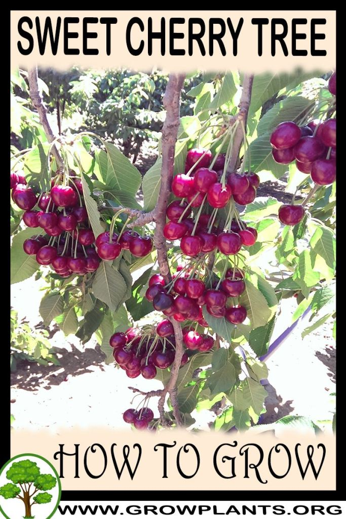 How to grow Sweet cherry tree