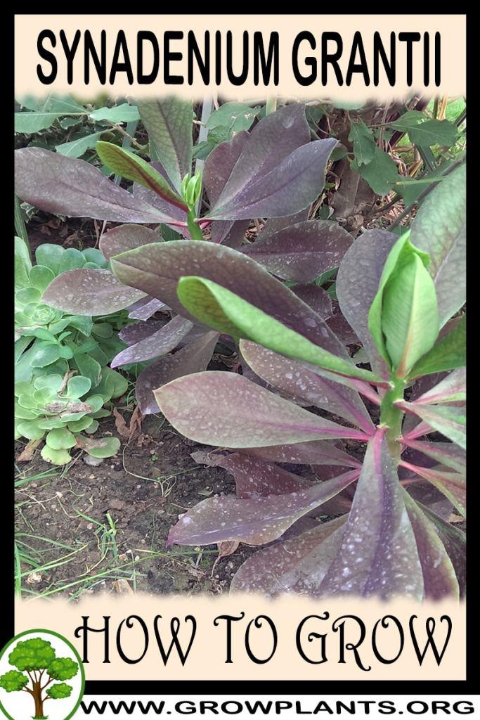 How to grow Synadenium grantii
