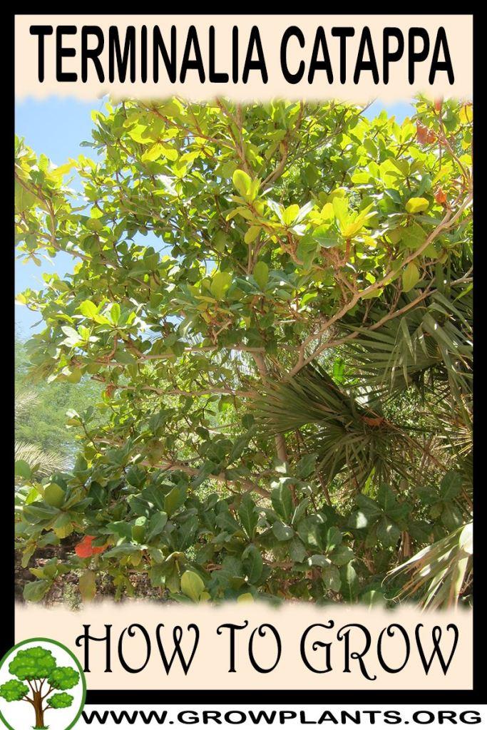 How to grow Terminalia catappa