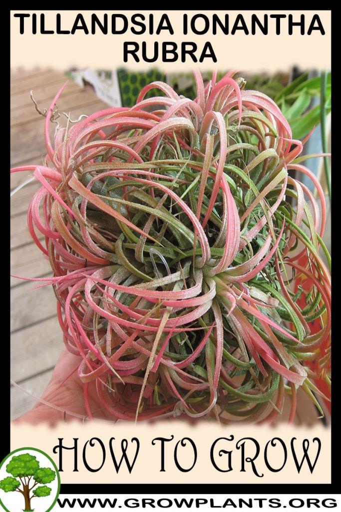 How to grow Tillandsia ionantha rubra