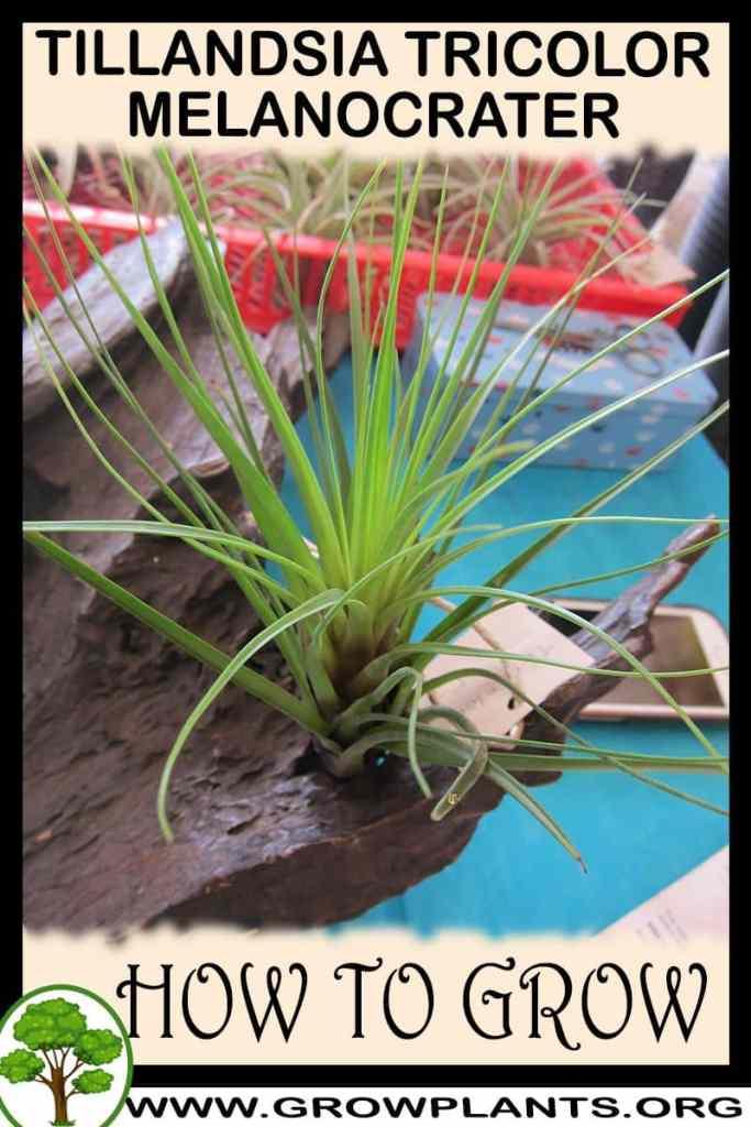 How to grow Tillandsia tricolor melanocrater