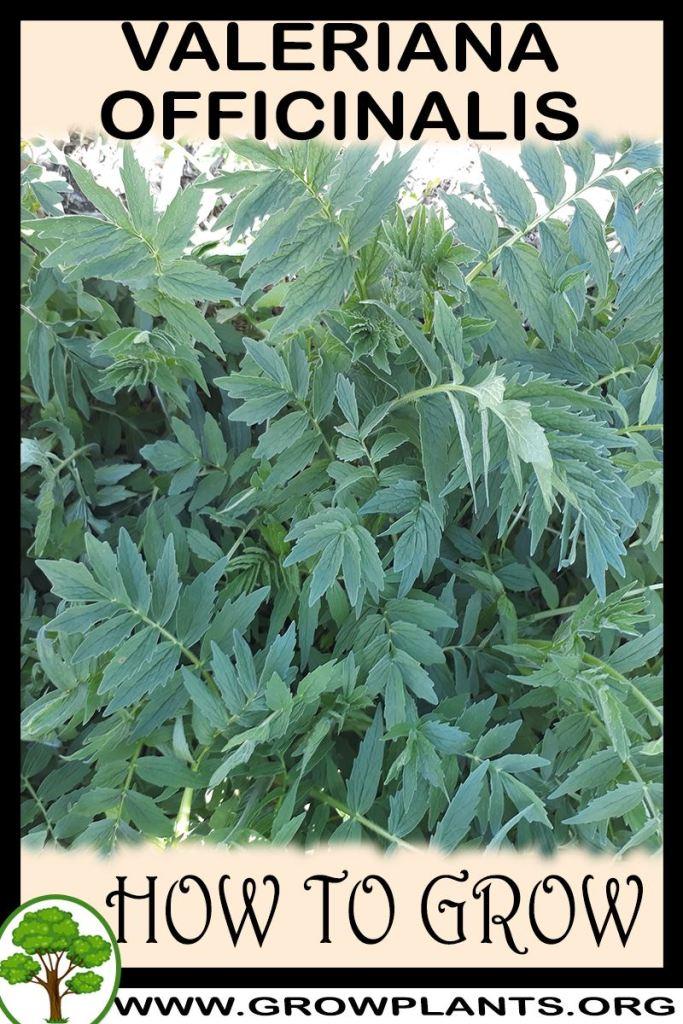 How to grow Valeriana officinalis