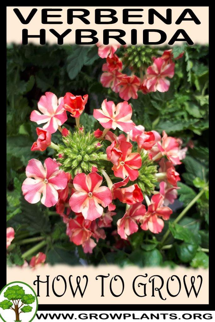 How to grow Verbena hybrida
