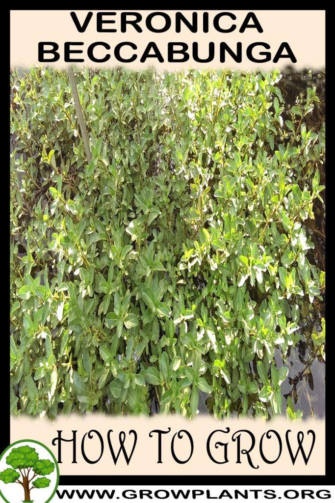 How to grow Veronica beccabunga