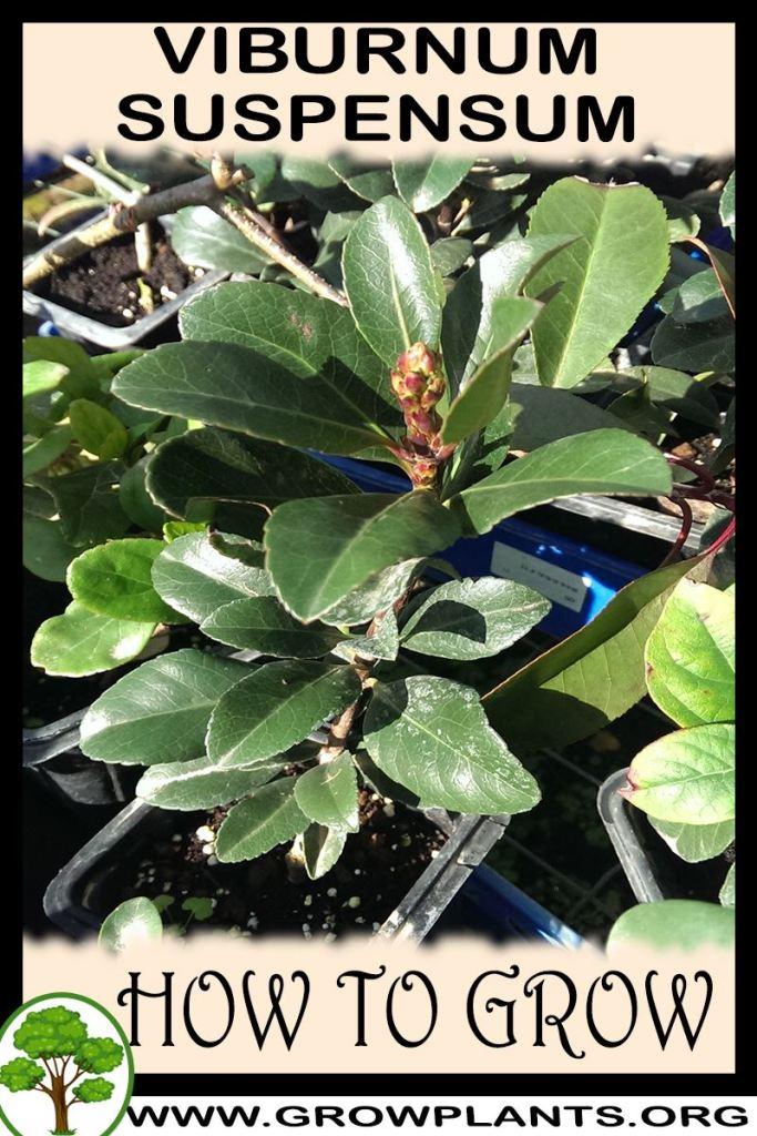 How to grow Viburnum suspensum