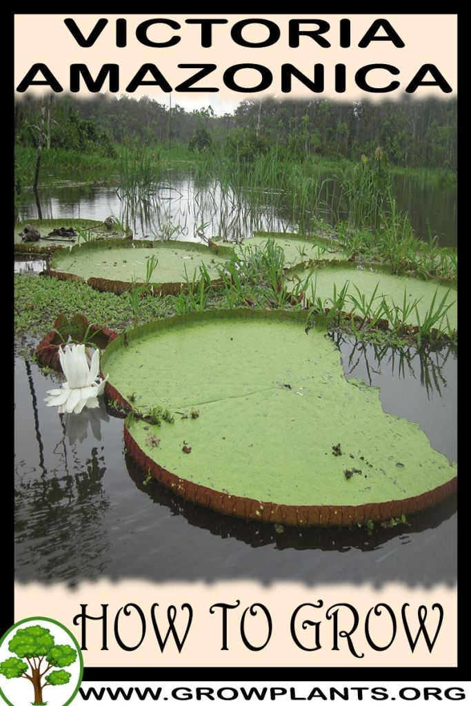 How to grow Victoria amazonica